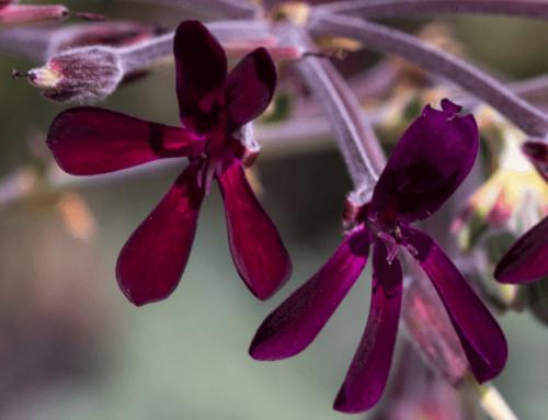 Pelargonium: ¿Qué es y qué beneficios tiene?
