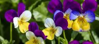 viola tricolor flor de pensamiento