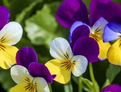 Flor de pensamiento: Conoce los beneficios de esta planta