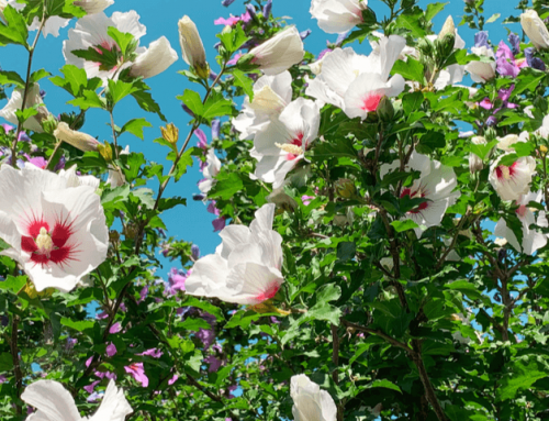 Altea: Todo sobre esta flor con propiedades medicinales